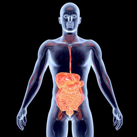 sistema digestivo: Los intestinos. 3D representa la ilustración anatómica.