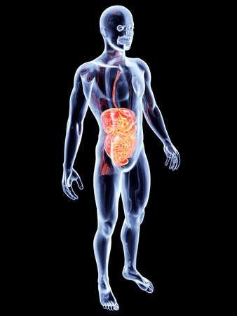 The Intestines  3D rendered anatomical illustration  Stock Illustration - 17999509