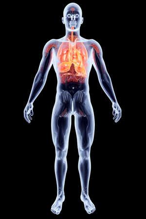organi interni: I polmoni rendering 3D illustrazione anatomica