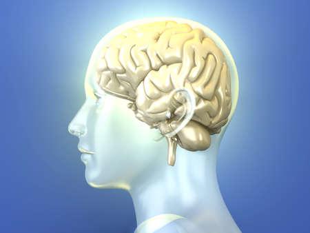 cerebro humano: El cerebro humano 3D rindió la ilustración anatómica
