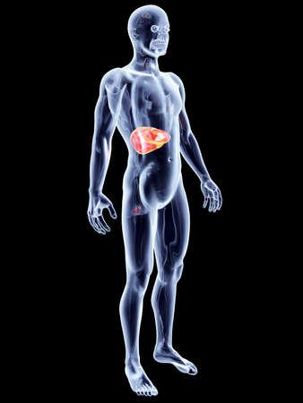 The Liver  3D rendered anatomical illustration Stock Illustration - 18117899