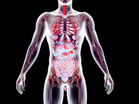 The internal adrenal Organs  3D rendered anatomical illustration
