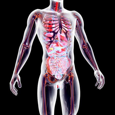 La ilustración anatómica rendido órganos suprarrenales internos 3D Foto de archivo