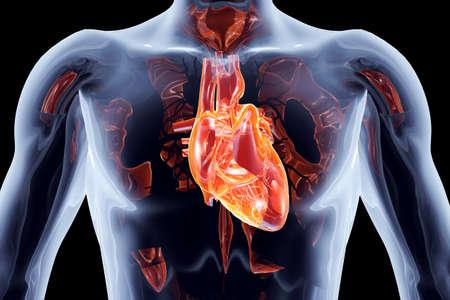 vasos sanguineos: El corazón humano 3D rindió la ilustración anatómica