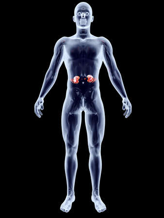 The Kidneys  3D rendered anatomical illustration  Stock Illustration - 18703909