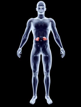 The Kidneys  3D rendered anatomical illustration Stock Illustration - 18703909