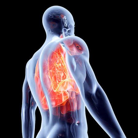 De longen 3D anatomische illustratie