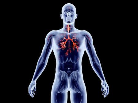 The internal adrenal Organs  3D rendered anatomical illustration Stock Illustration - 18999378