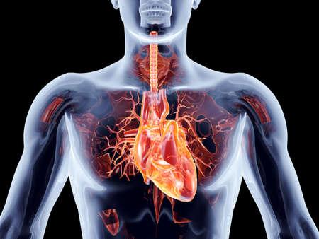 Het menselijk hart 3D anatomische afbeelding Stockfoto