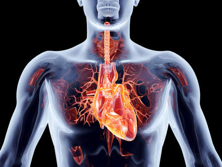 The human heart  3D rendered anatomical illustration