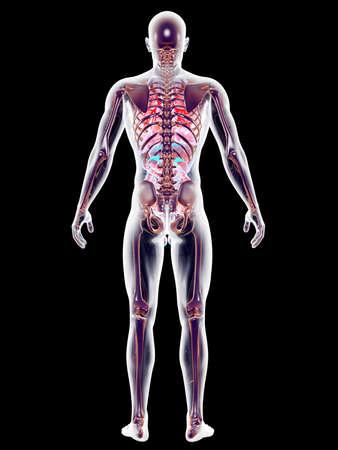gullet: The internal adrenal Organs. 3D rendered anatomical illustration.