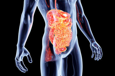 bowel disorder: The Intestines. 3D rendered anatomical illustration.