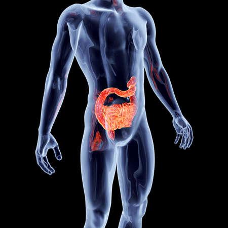 intestines: Los intestinos. 3D representa la ilustraci?n anat?mica.