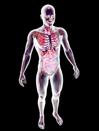 The internal adrenal Organs. 3D rendered anatomical illustration. Stock Illustration - 21159416
