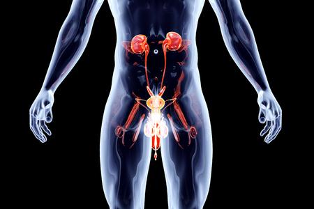 testiculos: El sistema urinario humano con los genitales masculinos. 3D representa la ilustración anatómica.