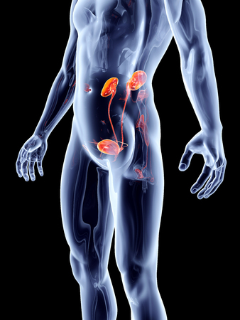 urinary system: The human urinary system. 3D rendered anatomical illustration.
