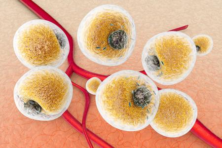 인간 조직의 지방 세포와 혈관과 모세 혈관 사이의 지방 세포. 과학적 3d 렌더링 된 그림입니다.