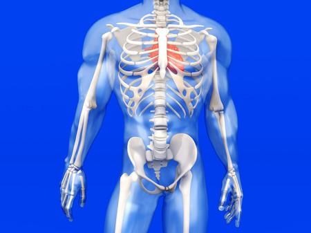 3D-Visualisierung Der Menschlichen Anatomie. Das Herz In Einem ...