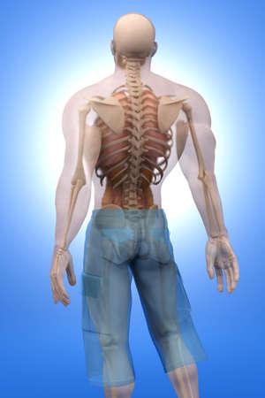 Visualización en 3D de la anatomía humana. Los órganos internos en un cuerpo masculino semi transparente. Foto de archivo
