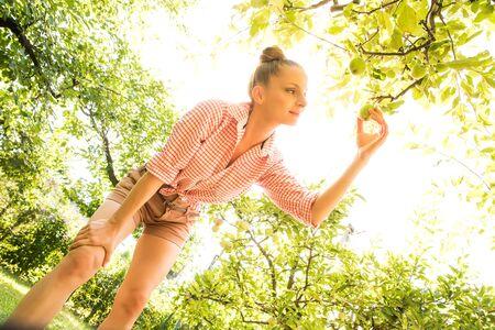 Una mujer joven que cosecha manzanas orgánicas en su jardín Foto de archivo