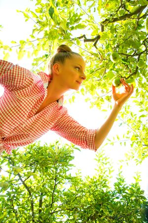 A young adult woman harvesting organic Apples on a sunny day in her garden.