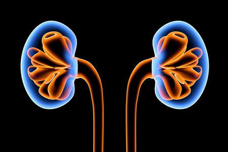 3D Illustration of a human Kidney. Banque d'images