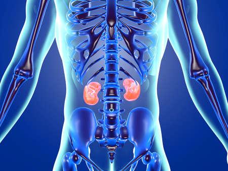3D Illustration of human anatomy highlighting the Kidneys.