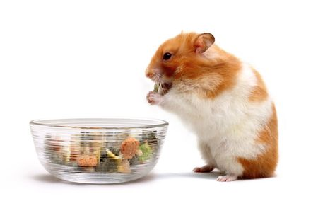 An adult female Syrian hamster eating some food from a glass bowl