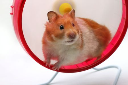 A Syrian hamster in an exercise wheel staring out