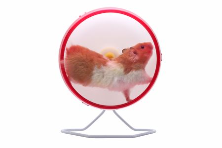 A Syrian hamster running in an exercise wheel