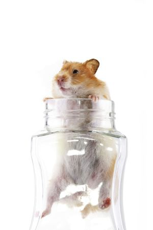 syrian: An adult female Syrian hamster climbing out of a transparent glass jar isolated in a white background