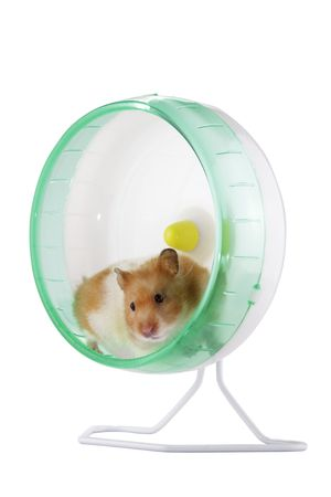 cute hamster: A hamster exercising in an exercise wheel Stock Photo