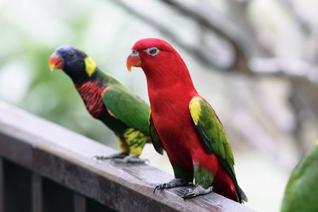 king parrot: An Australian King Parrot (Alisterus scapularis) with a Rainbow Lorikeet in the background