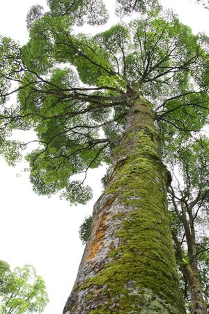 A tropical rain tree with moss on its trunk photo