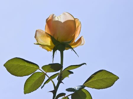 Peach colored rose silhouette isolated against a blue sky