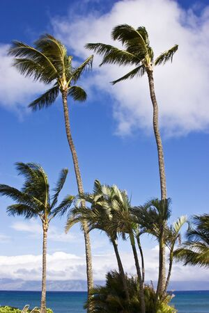 Palm trees swaying on a very windy day Stock Photo