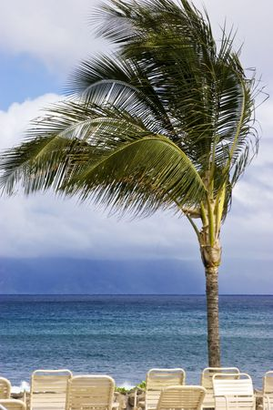 sways: Palm tree sways on a windy day in the tropics