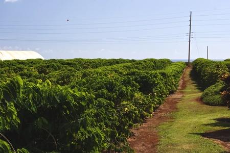 カウアイ島のコーヒー農園のコーヒーの木