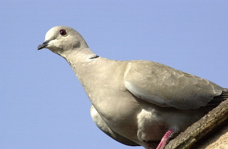 comprise: A close up portrait of a Grey Dove seen here on the roof of a building in Dalby Forest in North Yorkshire.  Pigeons and doves comprise the  Columbidae within the order Columbiformes, including some 300 species of near passerine birds. In general par