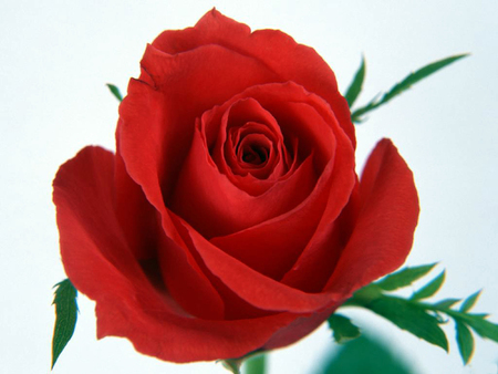 bl: A close up portrait of a single red rose.