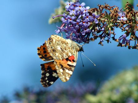 A general view of Red Admiral Butterfly pictured in a garden photo