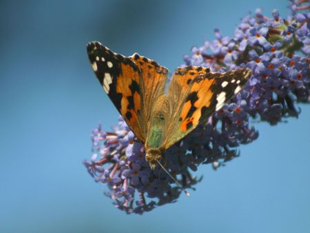 colurful: A general view of Red Admiral Butterfly pictured in a garden