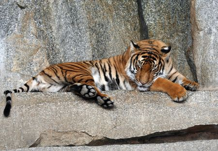 Portrait of a Tiger sleeping Stock Photo - 1896328