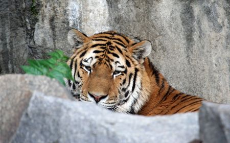 Portrait of a Tiger looking at the camera photo