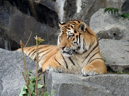 Portrait of a Tiger lying down and looking at the camera. Stock Photo - 1907226