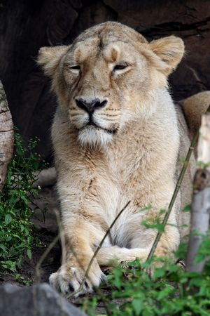 Portrait of a Lioness seen here lying down photo