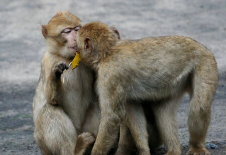africa kiss: Two young  baboons seen here kissing each other