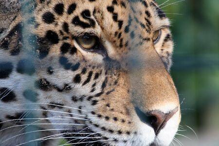sadly: Una gabbia di Leopard purtroppo guardando attraverso alcuni bar Archivio Fotografico