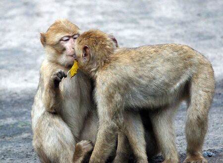 africa kiss: A portrait of two  baboons pictured kissing each other