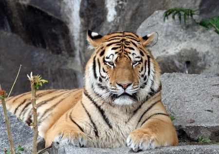 Portrait of an Indian Tiger looking straight ahead Stock Photo